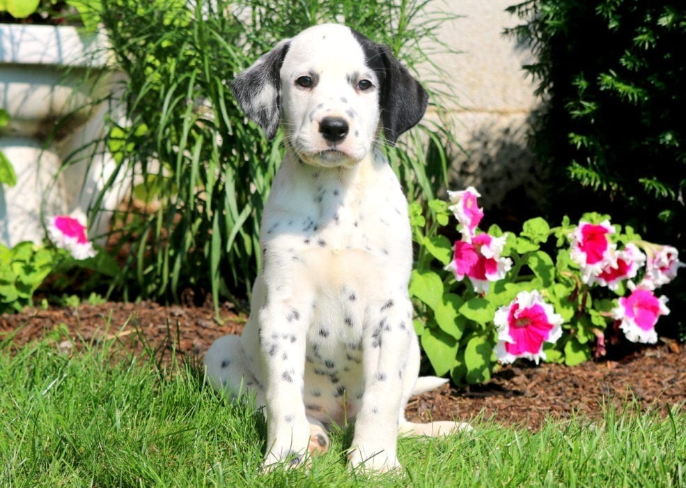 Dalmatian Puppies For Sale Puppy Adoption Keystone Puppies