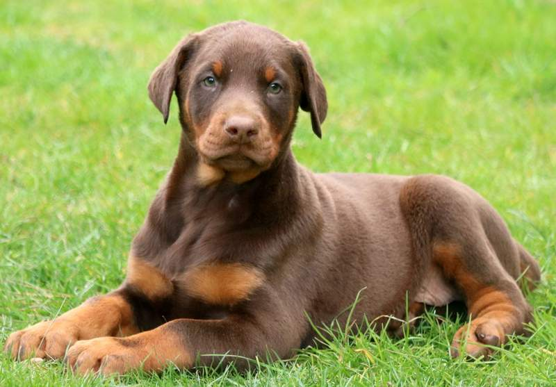 red doberman puppies for sale