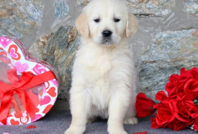English Cream Golden Retriever puppies for sale