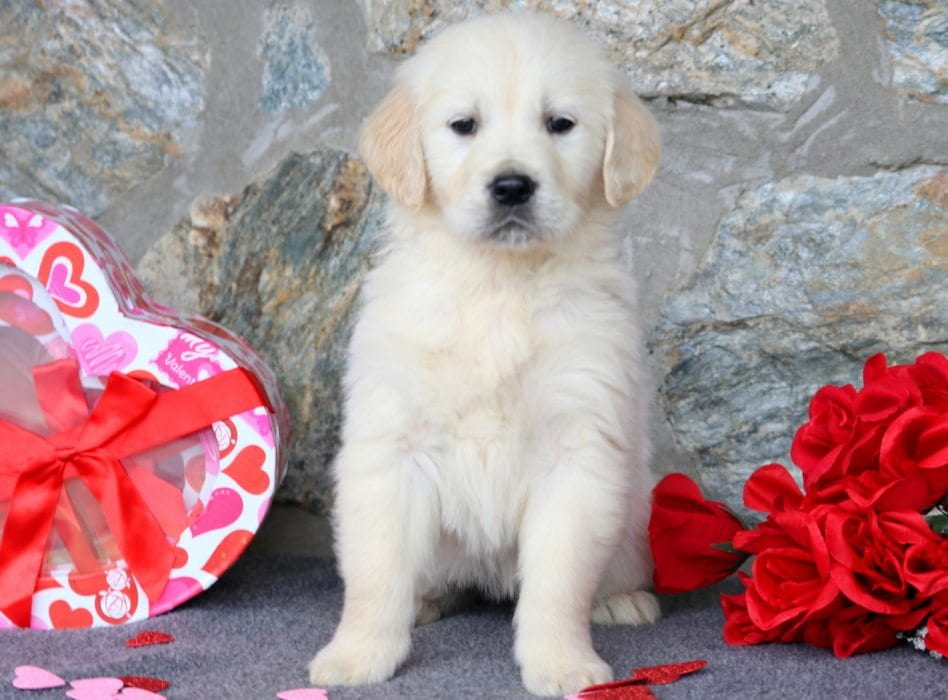 Golden Retriever English Cream Puppies For Sale Puppy Adoption