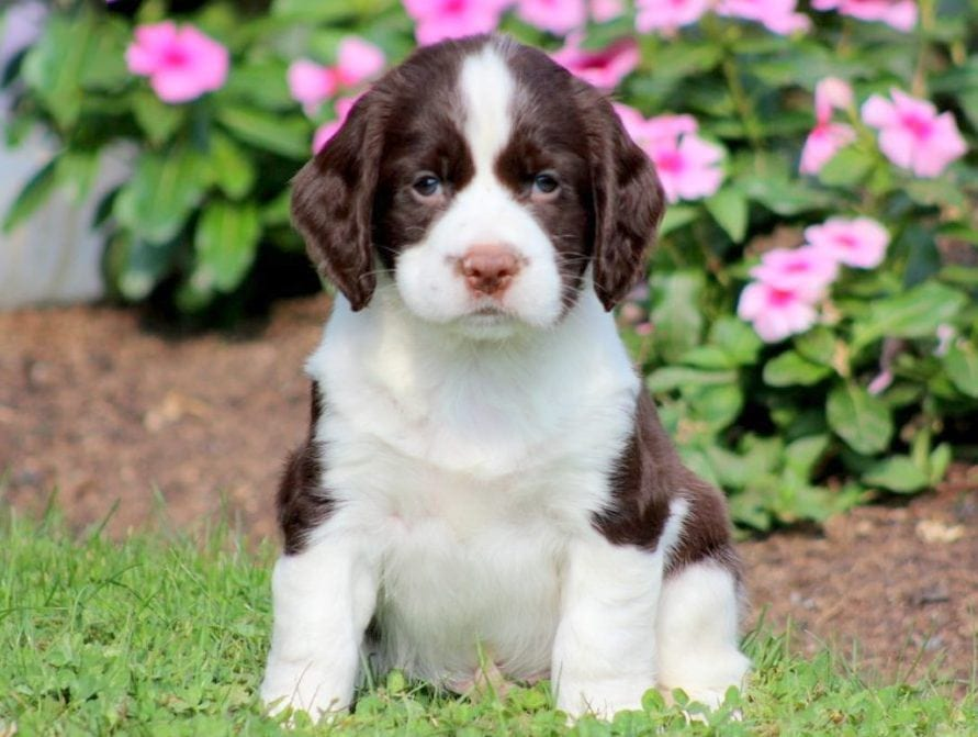 English Springer Spaniel Puppies For Sale Puppy Adoption