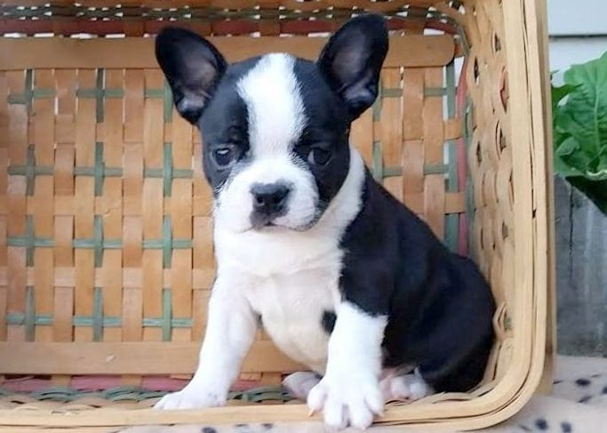 Frenchton Puppies For Sale Puppy Adoption Keystone Puppies