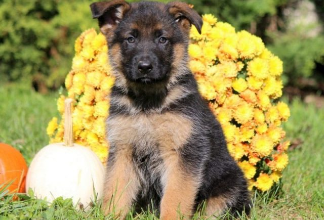 German-Shepherd-Category-e1518962648164.jpg