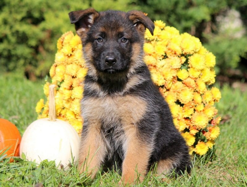German Shepherd Puppies For Sale Puppy Adoption Keystone