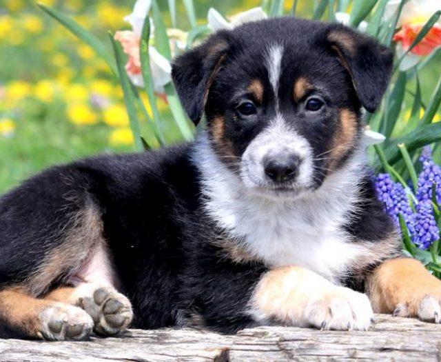 German Shepherd Puppies For Sale Puppy Adoption Keystone Puppies