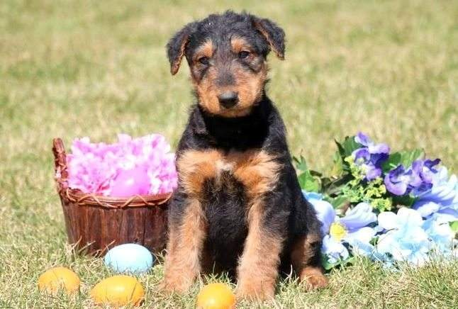 Airedale Terrier Puppies For Sale Puppy Adoption Keystone Puppies