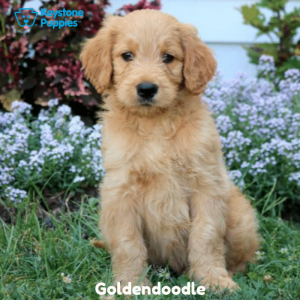 Goldendoodle-Dog-healthy-responsibly-bred-Pennsylvania