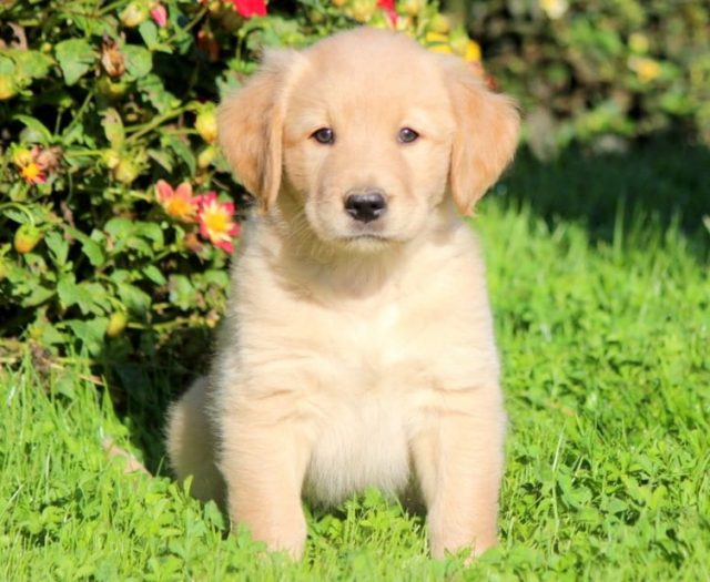 Golden Labrador (Goldador)
