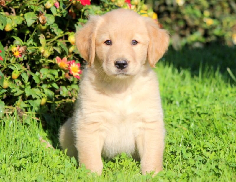 Golden Labrador Goldador Puppies For Sale Puppy Adoption