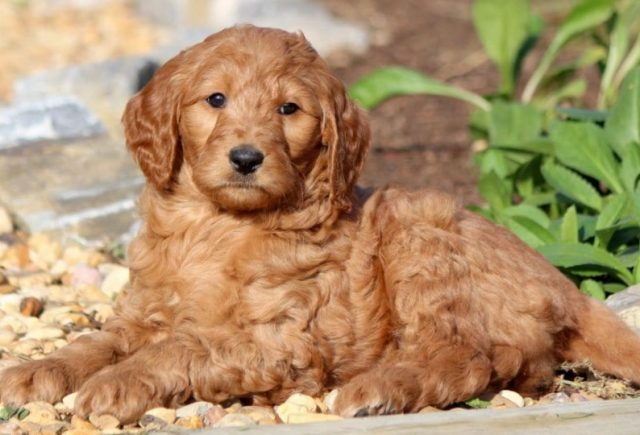 Goldendoodle-Category-1-e1519240555848.jpg