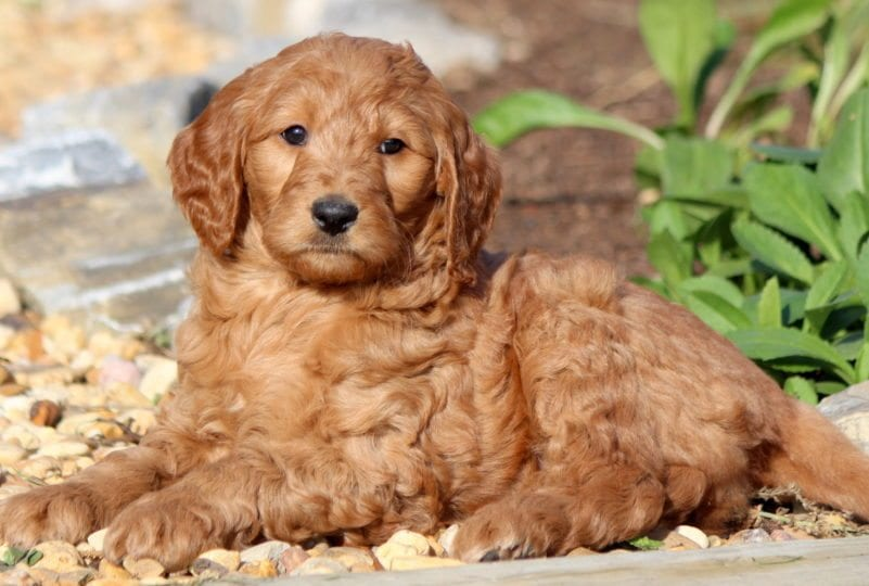 Goldendoodle Puppies For Sale | Puppy Adoption | Keystone