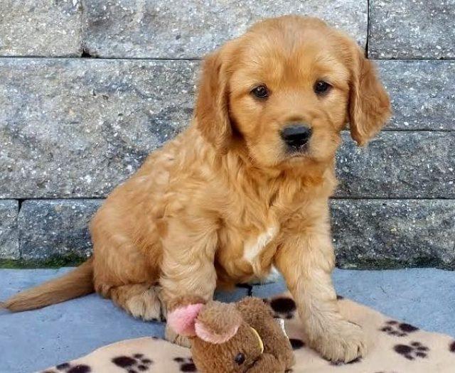 Golden Retriever - Petite