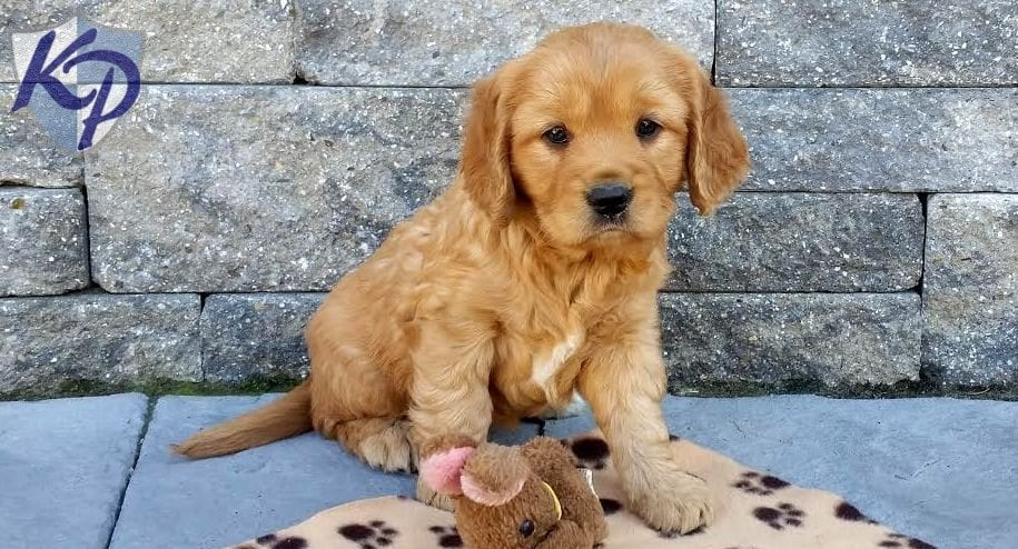 Golden Retriever Petite Puppies For Sale Puppy Adoption