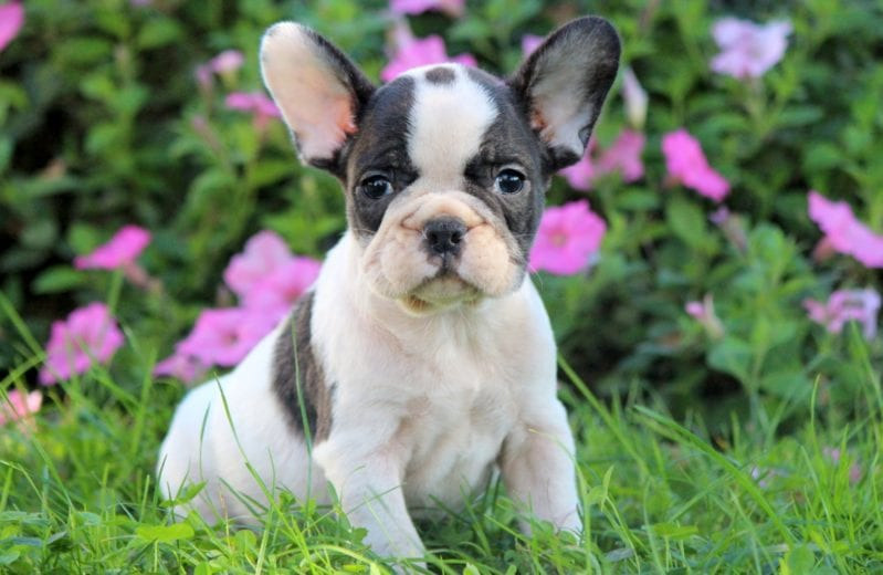 French Bulldog Puppies For Puppy