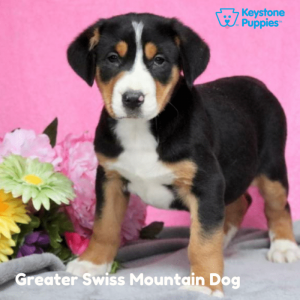 Greater-Swiss-Mountain-Dog-healthy-responsibly-bred-Pennsylvania