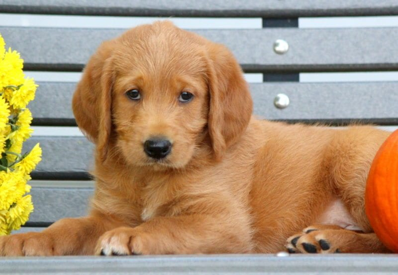 Labradoodle Puppies For Sale Puppy Adoption Keystone Puppies