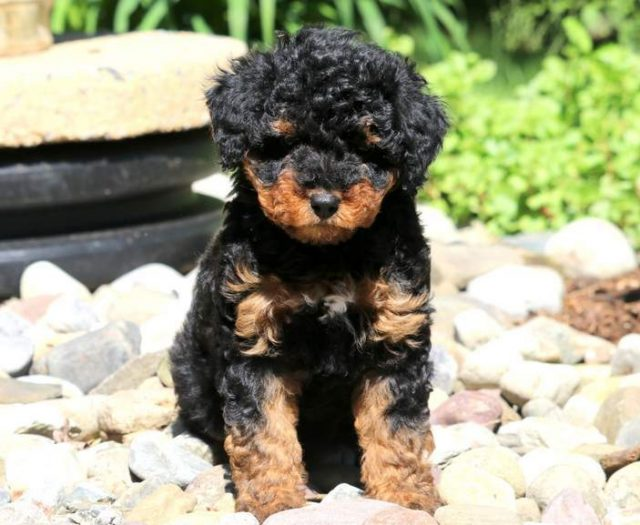 Sheepadoodle Mini Puppies For Sale Puppy Adoption