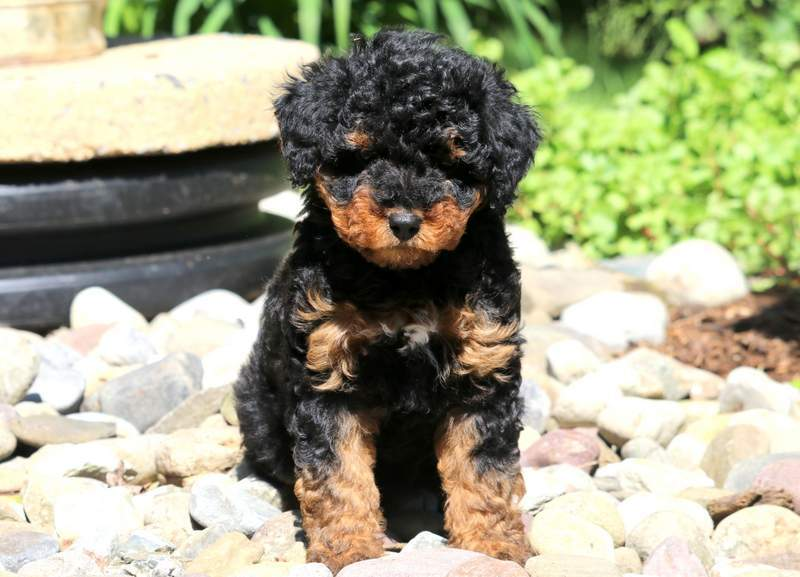 Aussiedoodle Mini Puppies For Puppy Adoption
