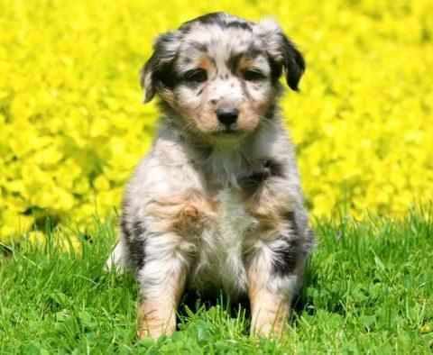 Australian Shepherd - Mini