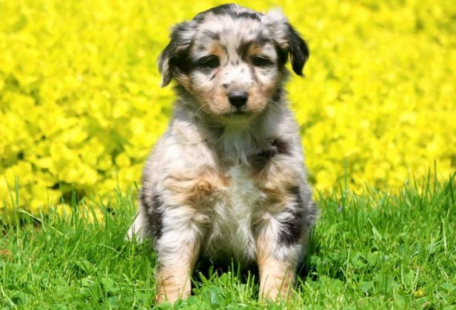 Mini-Australian-Shepherd.jpg