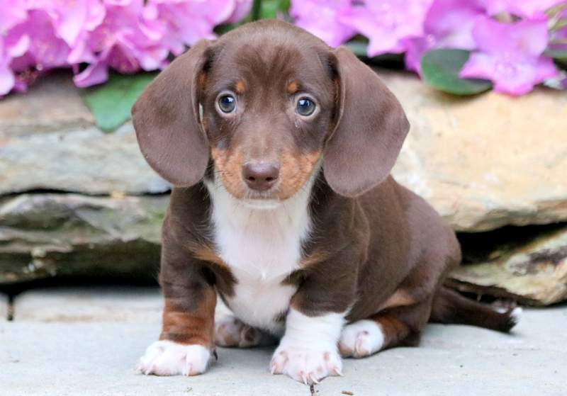 Dachshund Miniature Puppies For Sale Puppy Adoption Keystone