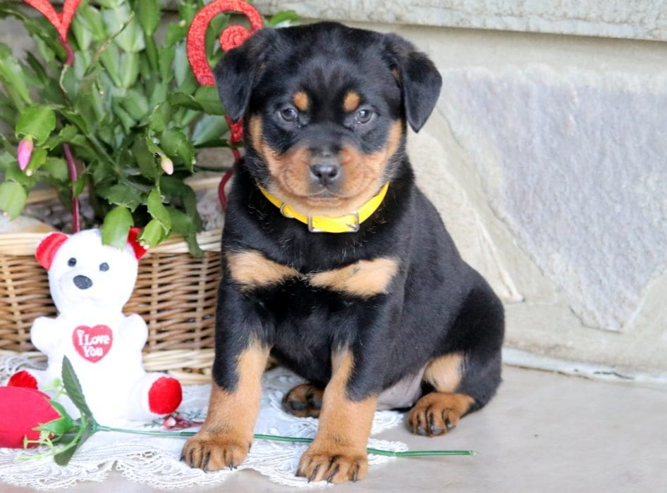 Rottweiler Miniature Puppies For Sale Puppy Adoption Keystone