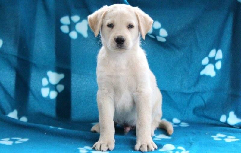 German Sheprador Puppies For Sale Puppy Adoption Keystone Puppies