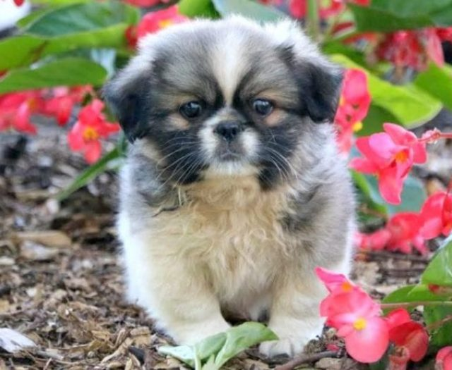 Shih Tzu Puppies For Sale | Puppy Adoption | Keystone Puppies