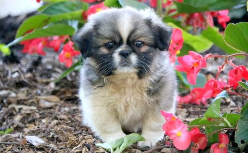 Pekingese Puppies For Sale | Puppy Adoption | Keystone Puppies