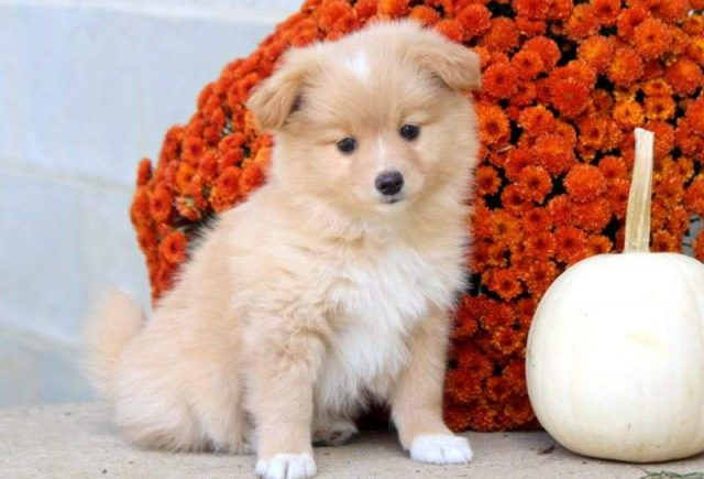 Pomeranian-Mix-Breed-e1518960994850.jpg