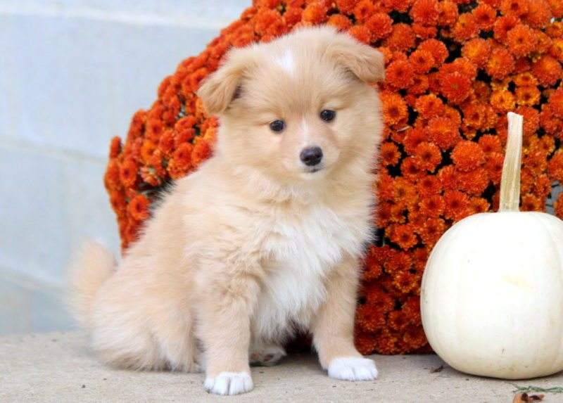 Pomeranian Mix Puppies For Puppy