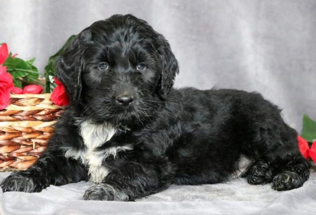 Portuguese-Water-Dog-Mix.jpg