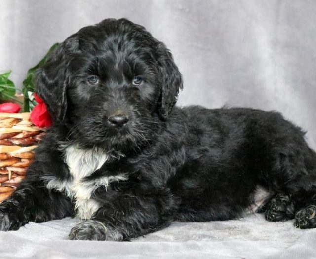 Portuguese Water Dog Mix