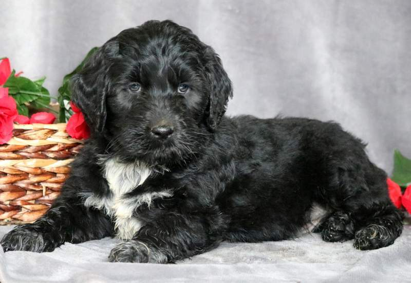 Portuguese Water Dog Mix Puppies For