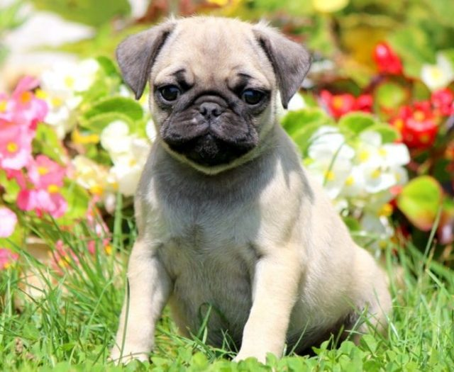 Chug Puppies For Sale | Puppy Adoption | Keystone Puppies