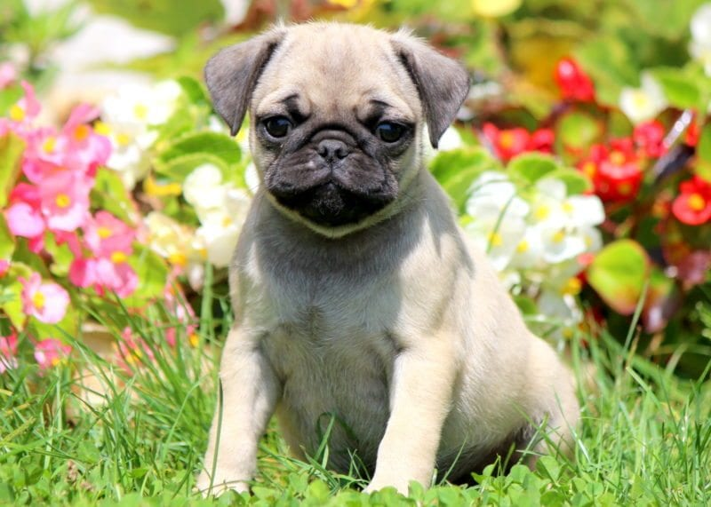Pug Puppies For Sale Puppy Adoption Keystone Puppies