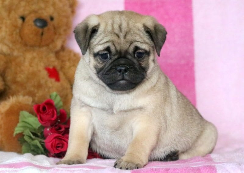 Pug Mix Puppies For Puppy