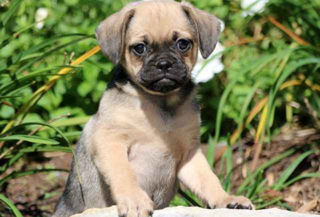 Puggle-Category-e1519318492585.jpg