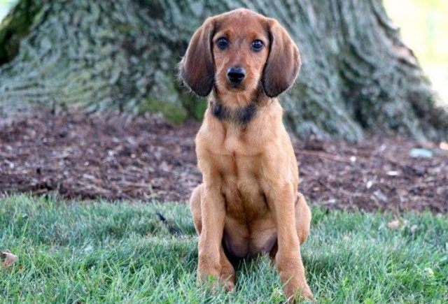Redbone-Coonhound-Mix-Puppies-for-Sale-In-PA-e1519084901517.jpg