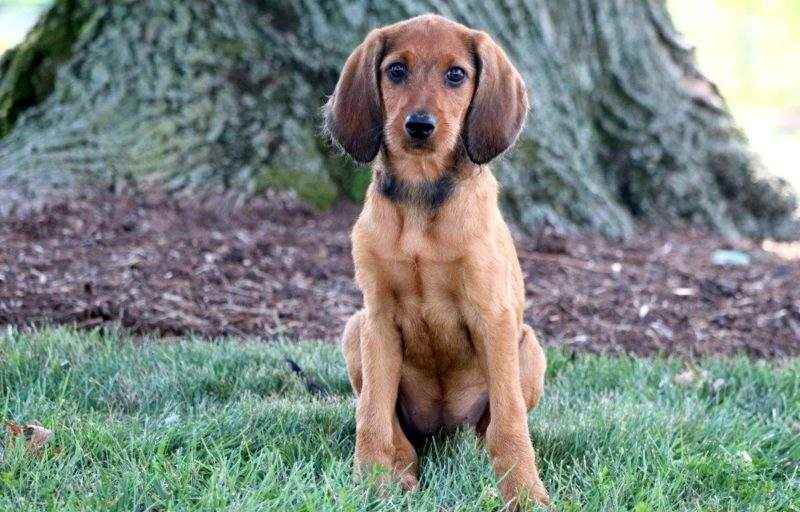 Redbone Coonhound Mix Puppies For Sale Puppy Adoption Keystone