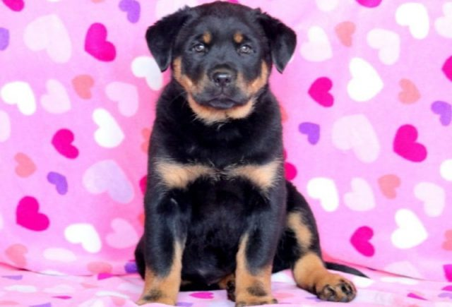 Rottweiler-Mix-Breed-e1518960873221.jpg