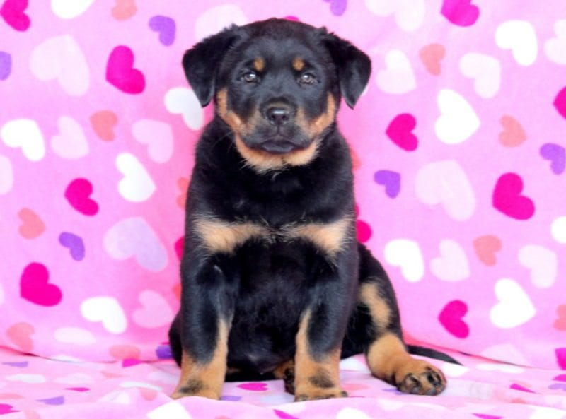 Rottweiler Mix Puppies For Sale Puppy Adoption Keystone Puppies