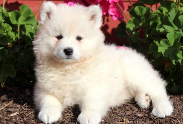 Samoyed-Category-e1519318487317.jpg