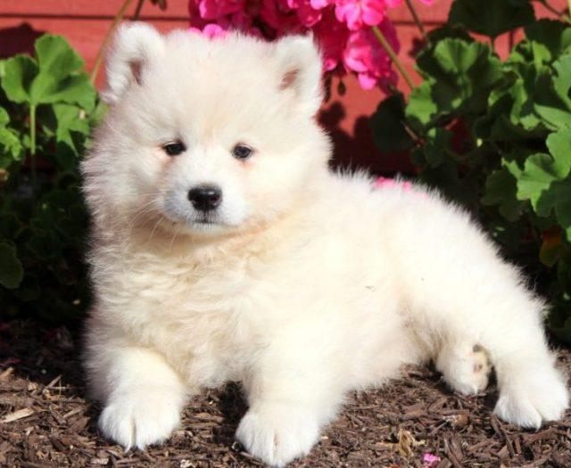 American Eskimo Mix Puppies For