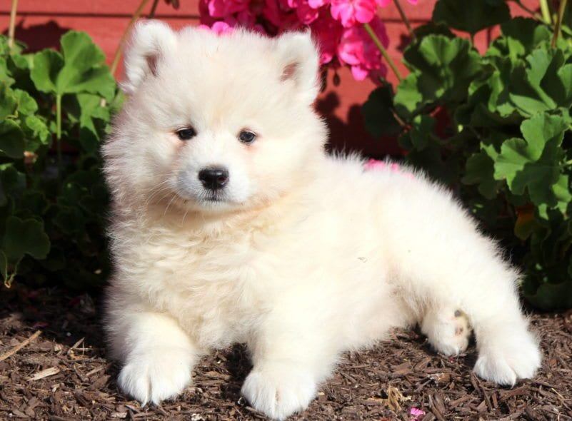 Samoyed Puppies For Puppy
