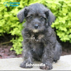 Schnoodle-Dog-healthy-responsibly-bred-Pennsylvania