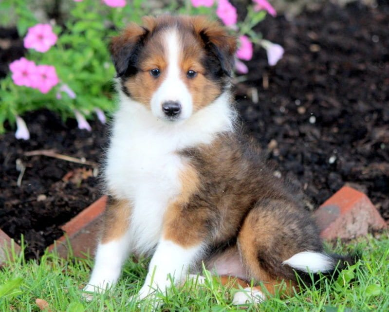 Australian Shepherd Mix Puppies