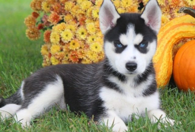 Siberian-Husky-Category-e1519318482937.jpg