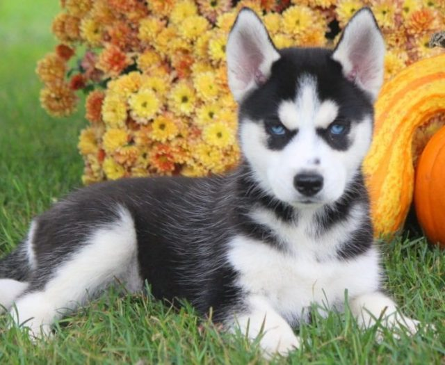Pomsky Puppies For Sale Puppy Adoption Keystone Puppies