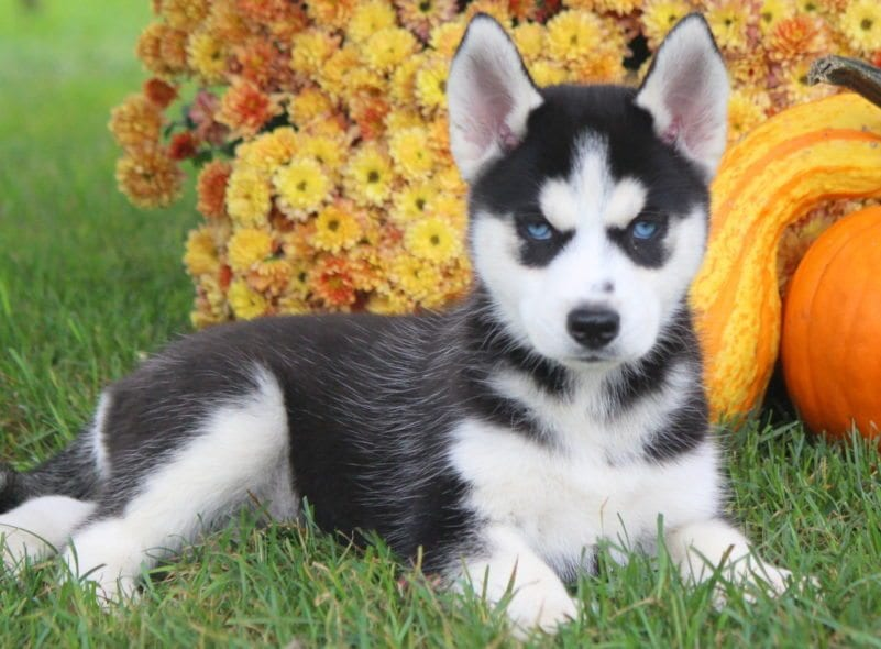 siberian husky puppies for sale | puppy adoption | keystone puppies